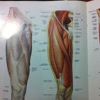人体の解剖図で脚の筋肉を内側から描かれた図を探しています  現在私の持っている解剖書には内側からみた図がのっていないので… 出来ればこの画像のような立体感があってわかりやすい脚の内側からみた図があると ころを教えてください