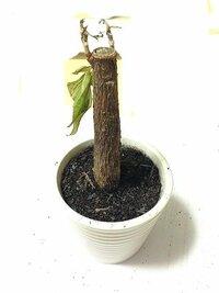 パキラが枯れてしまいました。 幹も少し柔らかいです。 葉もしなってしまっています。 根は短めの根が2、3本あります。 これ以上復活はしないのでしょうか? もし少しでも希望があるなら 治療方法を教えて下さい。