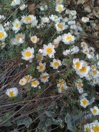 茎の細長いキクの様な花 斜めに倒れているのが細長い茎で、上の方に細く短い葉があって、1.5cm位のキクの様な花をつけてるこれは何と言う名前でしょうか?