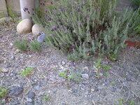 ラベンダーについて!  庭に咲いているラベンダーが 写真のとおり大きな株の横に 新しく芽を出しました。  ラベンダーって根っこで増えるの? 種から、育てるのは無理だと聞きました。  なぜ、増えたの...