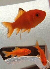 金魚の背びれ、尾びれが黒くなってきた。 金魚すくい出身の2匹の金魚について。 丁度2週間前に我が家にやってきたのですが、最近ヒレと言うヒレが黒くなってきました。 写真で大きく写っている子は我が家に来...