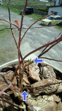 ブルーベリーが枯れてしまった…?  閲覧ありがとうございます。去年の春に購入したブルーベリーの苗ですが枝全体が枯れて茶色くなってしまいま した。 ですが写真の矢印で示したように芽が出てきたりもしています。 他の品種のブルーベリーは枝が緑で葉も芽吹いています。ちなみにこのブルーベリーも、無事なブルーベリーと同様に寒冷に強いハイブッシュ系です。(ハイブッシュ系は確かですが種類までは失念しました。...