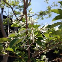 この白くてかわいい花の咲いているのは、何という木でしょうか?