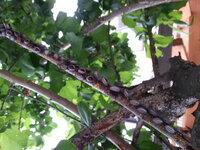 梅の木の虫についてアドバイスをお願いします。② 写真が一枚しか載せられないので、一度に質問できずすみません。 家にある梅の木の状態が気になるので、助言を頂けるとありがたいです。  質問①で質問した虫の...