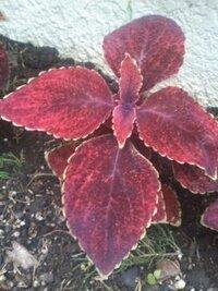 6月の中旬ですが紅葉したようなこの植物は何でしょうか? ミニ花壇に植えられているこの植物の名前を教えて下さい。