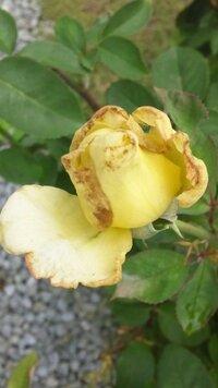バラの花びらの変色で苦慮しています。対策を教えて下さい。 庭植えのバラを13種類ほど楽しんでいます。2番花あたりから、バラの花びらの先端が写真のように変色してしまうのです。しかも、数種類のバラが蕾の頃から先端が変色しはじめ、開くとご覧のとおりです。樹勢は悪くないのですが・・・ 以前このサイトで、「スリップスではないか」との指摘を頂きました。早速知らべてみましたが、1種類だけ「これがそうかな...