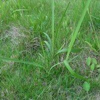 庭の芝生に適したおすすめの除草剤は? 庭(広さ 10m x 10mくらい)全体に芝生が生えていますが、草取りが大変です; 特に写真の細長の雑草は根が深く苦労しています。 芝生だけを残す、おすすめの除草剤があれば教えて下さい。