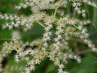 この花はユキザサでしょうか? 尾瀬・八木沢道で見かけた花です。 すいませんが、名前わかる方、よろしくお願いします。