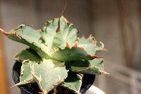 アガベの育て方で「締めて育てる」とは? 具体的な管理方法を教えてください。 アガベチタノータNo.1(直径15cm)を育てています。 元気なんですが、だんだん葉が細長く、葉が開いた感じになってきました。 いわゆる徒長のようです。 現在は明るい窓際(直射日光ではない)、2週に1回たっぷり水やりです。 できれば葉が立ちあがり、葉自体も幅広になるように育てたいのです。 ネットで調べると「...