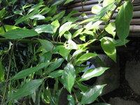 庭に生えてきた木ですが、品種を教えて下さい。 1年ぐらい前に勝手に芽生え、大きくなってきました。大木になったら大変です。 教えて下さい! 宜しくお願いいたします。 庭 ガーデニング 苔 山野草 和花 中庭 花壇 栽培