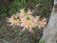 いつも真っ赤に咲くヒガンバナ。色がぬけて咲いています。これは病気でしょうか。