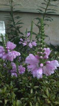 この花の名前何ですか? 細長い茎にピンクの花付けたこれは何といいますか?