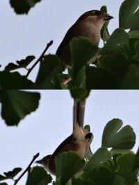 庭に鳥がいました。 けけけけけけけ と高速で鳴いています。 これはヒヨドリですか??