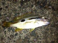 昨晩、舞鶴の野原漁港にてサビキ釣りで釣れました。  イサキの幼魚でしょうか?