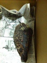 昨日、保護した鳩の雛が餌を食べません。如何すれば餌を食べますか? 昨日、父が鳩の結構成長した雛を保護してきました。 あと一週間かちょっとで飛んできそうなくらいの雛です。  飛び立つまで家で保護する事...