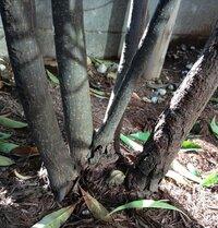 根元から枝分かれしている常緑樹があるのですが、うち1本だけ葉が全て落ちてしまいました。 原因と元に戻す対策方法をご教授下さい‼ 東京都八王子市在住です。 庭に『イジュ』という常緑樹を2年くらい前に植えています。  この木は、根元から枝分かれしているのですが、うち1本だけ葉が全て落ちてしまいました。 葉が落ちてしまった木の上の方の細い枝を折ると簡単に折れてしまいますが、やや太めの枝は...