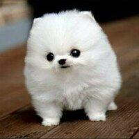 この犬の犬種はなんですか? こんな可愛い犬見たことがありません! 特殊なカット法をしているだけなんでしょうか?