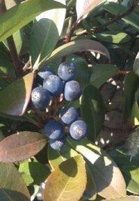 ブルーベリーみたいな実を付けたこの植物は何ですか? 道端の木でした。これ食べられますかね。