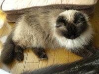 この猫、僕はメチャメチャ可愛いと思いましたけど、この猫種(ヒマラヤン)の中では、高値は付かんそうです。 もっとずんぐりむっくりとして、脚が短く、鼻ペチャの方が、種の特徴が出て評価は高いそうです。 (猫好きな叔母談)  単純に顔が可愛くて体形が美しい子の方が、僕は良いと思いますけど、猫愛好家の皆さん達の見る目は違うと言う事でしょうか? 値段がホンマに全然ちゃうと言う話ですけど? なん...