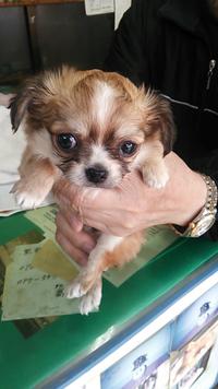 仔犬チワワの顔のタイプで ドワーフタイプ ハイオンタイプの区別が分かりません(T^T) 今気に入った仔犬がいるのですが どちらのタイプでしょうか。詳しい方宜しくお願い致しますm(._.)m