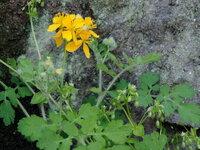 石清水八幡宮表参道で見かけた花ですが、この花の名前を教えてください。
