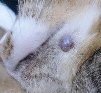 猫の口元に、柔らかいプニプニとしたできものができています。特に痛がったり痒がったりはしていないのですが、なにかの病気でしょうか? 回答よろしくお願いします。