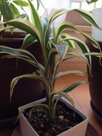 最近買った植物について質問です  その植物はサンスベリアによく似て葉の柄がゴールデンハニー(サンスベリアの種類)によく似ています。  しかし、サンスベリアと明らかに違うのが葉がとても 薄いことです。  だれか教えてください。