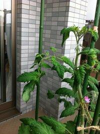 追肥していないのにミニトマトの葉が丸まります。 ベランダで育てているミニトマトの葉が丸まります。 下の方の葉は健康そうです。  ・4月20日に購入した苗を土が40リットル入る菜園プランター750に2株植えました。  ( 植付けはGW頃がいいとは知らず、買ってすぐ植えてしまいました。) ・ピュアスィートミニとアイコイエローですが、アイコイエローのみ丸まります。 ・トマトの培養土とい...