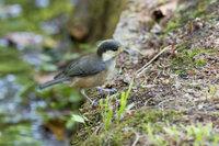野鳥撮影を始めて、まだ一年にもならない初心者です。今日、福岡の油山市民の森でこんな鳥を撮影しました。野鳥図鑑で調べても、よくわかりません。 ヒガラに似ている気がしますが、冠羽がなく、嘴も合わせ目が黄色で、違う気がします。分かる方、よろしくご教示ください。