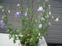 釣鐘状の花が好きで毎年シンフィアンドラ・ザンゼグラを買うのですが、いつも夏になると枯れてしまいます。 調べてみると宿根草ということですがどうすれば来年も花が見れますか? 上手に育てている方のアドバイ...