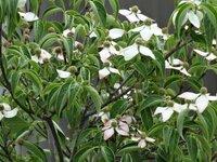 これはヤマボウシのミルキーウェイですか? 植木屋さんにはミルキーウェイと言われましたが この様な花色のミルキーウェイもあるのでしょうか?