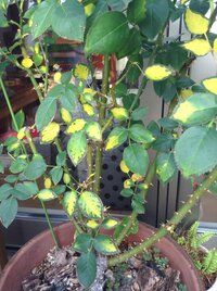 バラ、ジュリアの葉の様子がおかしくなって来ました。 何が原因でしょうか。 花が先終わり選定し、暫くたって、下の葉っぱから 黄色くなり、淵の部分が緑色に残っている感じです。 肥料を咲き終わってあげ、定...
