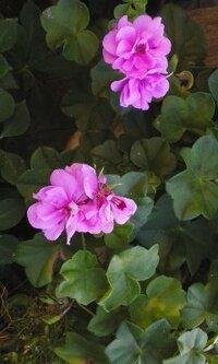 小さな花壇のピンク色の花です。 背丈は15cm程度、花びらは八重咲き状です。 名前をおしえて下さい。