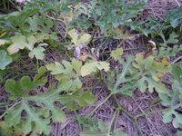 スイカの葉っぱが変色,枯れる スイカの株もとの葉っぱが枯れて来ました,広げないためにどうしたら良いでしょうか,消毒をする場合は薬品名をお願いします,