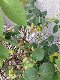 バラの葉っぱが黄色くなってきたのですがどういった症状ですか?