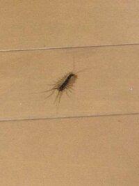 この虫を部屋の隙間に逃がしてしまいました… 気持ち悪いです。  なんという虫でしょうか?
