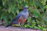 家の庭に遊びに来る鳥の名前を教えて下さい。 写真の鳥です。 全体的に青っぽく腹部がオレンジか赤茶色をしています。 「ケケケケ」、「カカカカ」というような鳴き声です。 家は海からも山からも近く、交通量もそれなりにある住宅市街地です。