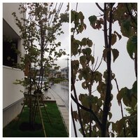 北東の方角に飢えてるヤマボウシに葉枯れのような症状がでてます。水やりはほぼ毎朝やってます。根元に何か植えた方が良いのでしょうか? 何か植える場合、何本位植えたら良いか、アドバイスお 願いします。 庭...