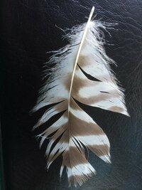 この羽の持ち主は? 数年前の8月、渓流でこの羽を拾いました。 なんという鳥の羽でしょうか。 お分かりの方、お願いします。
