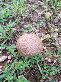 このキノコの名前を教えてください! 芝生の上にこの様な丸い拳大の丸いキノコがぽこぽこ生えています。茎らしい部分はあまりなく、全体的に丸いです。  ちなみに、縦に割ると中が真っ白なキノコです。写真のキノコは茶色ですが、周りには同じ様な形をした少し大きめな白い丸々としたキノコもあります。  北米で撮った写真ですが、雨が降る度に生えているので犬の散歩の度にとても気になります。教えてください!
