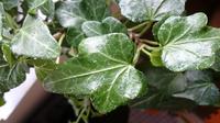 植物に詳しい方、教えて下さい! 育てているヘデラがうどん粉病か知りたいです。  私は室内でヘデラを育てています。(1年半) 二ヶ月くらい前から、葉に白い粉の様なものが着いている事に気付き、その時は水で流しました。 指先で擦ると取れます。 乾燥のせいかと思い、葉水をしっかりするようにしました。 しかし、乾燥すると粉の様なものが目立ち、今では全体にあります。  根元も綺麗で(ハダニの症状はない)...