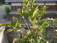 キンモクセイの葉が、なぜか茶色に。  今春に植えたキンモクセイの苗木が、葉が茶色に変色しています。 葉の先端部分(約25%)が茶色くなっています。  暑さのせいでしょうか? 肥料を与えていないからでしょうか? 勝手に枝切りしちゃったのがダメだったのでしょうか?  常緑種なので、葉が変色するのはおかしいと思いました。