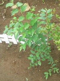 庭に生えてきた木の名前を教えてください。 ムクノキやヤマグワと一緒に生えてきました。 残すかどうかの判断に困っています。  ムクノキより葉が固く、色が濃いように感じます。 どのような木になるのかなど...