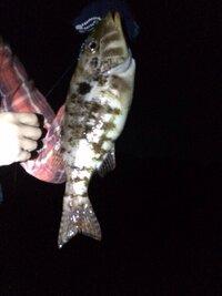 堤防で釣りをしていたら名前のわからない魚が釣れました。エラの後ろ辺りに黒い斑点がある魚です。 どなたかこの魚の名前が分かる方いらっしゃるでしょうか?