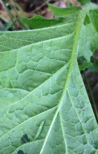 セイヨウカラシナの葉にいた、この青虫の名前を教えてください。