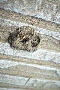 外壁に土でできた虫の卵の様なものが着いていました。泥で固まっていて、非常に堅く、中からは袋に入った虫の幼虫的なものが出てきました。これは一体なんでしょう?虫の幼虫のようなものは全て死んでいたようです。