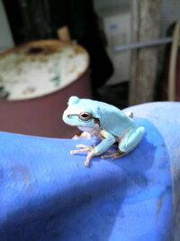 庭で水色のカエルを見つけたのですが、これはなんなんでしょうか?  両生類や爬虫類が苦手なのでゴム手袋してます(^^;