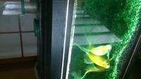 この金魚の名称教えてください。