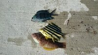 この青い魚はなんでしょうか?  今日釣りに行って、木っ端釣りしてきたのですが、 この青い魚の名前が調べてもわかりません。 黄色はカゴカキダイ もう一匹はキュウセンだと思うのですが。