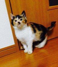 三毛猫の名前…  三毛猫の名前を考えていますが、なかなかいいのが思いつきません(。-_-。)  うちの子はみんな洋風な名前なので、洋風で珍しい可愛い名前ありますか?  デッカい鼻くそ模様が ブチャイクな子猫です。 それから先っちょだけ鍵尻尾(笑) それ以外は美人な女の子なんですが…(^_^;) 性格はちょっとマヌケそうなところも多々あります。。。  何か浮かんだら、是非...